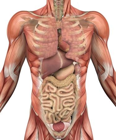 Procesar los músculos del torso masculino, con un debilitamiento para revelar los órganos internos y el esqueleto - 3D. Foto de archivo - 8920996