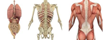내부의: A set of anatomical overlays depicting the internal organs as seen from the back - these images will line up exactly, and can be used to study anatomy - 3D render. They can also be used to create your own illustrations - the possibilities are endless!