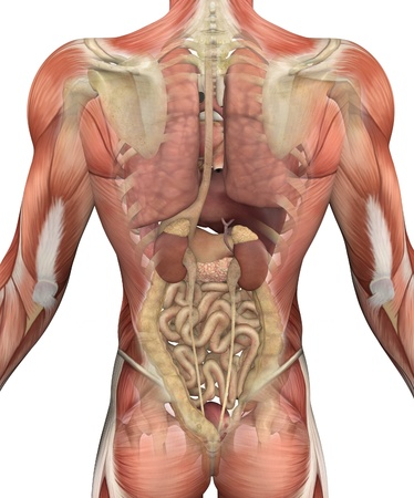 intestines: Male torso with muscles, with a fadeout revealing the internal organs. 3D render.