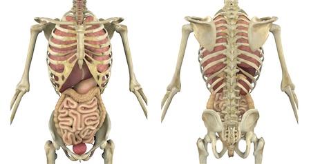 organos internos: Esqueleto masculino con procesamiento 3D de �rganos internos - vista frontal y posterior-
