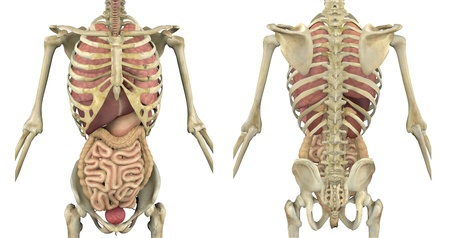 rib cage: Male skeleton with internal organs - front and back view - 3D render