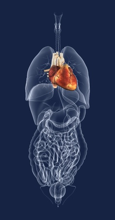 A 3D rendered image that illustrates where the heart is in relation to the other internal organs.