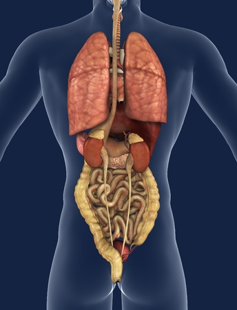 intestines: 3D render of the internal organs as seen from the back, with a silhouette of the body. Stock Photo