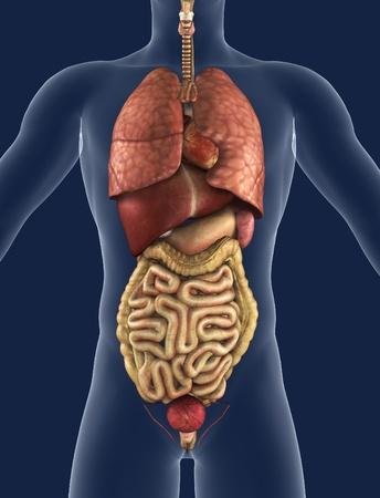 내부의: 3D render of the internal organs as seen from the front, with a silhouette of the body.