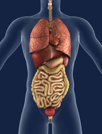 large intestine: 3D render of the internal organs as seen from the front, with a silhouette of the body.