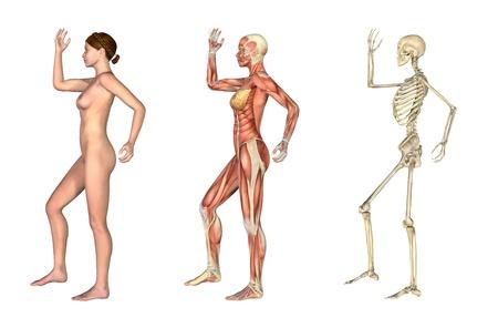 anatomia humana: Un conjunto de superposiciones anat�micas que representa la vista lateral de una mujer en un brazo y la pierna flexionada. Estas im�genes se alinean exactamente y pueden utilizarse para estudiar anatom�a. Procesamiento 3D.