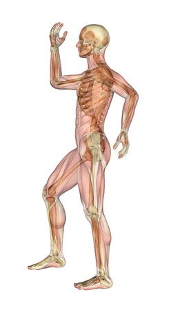 overlays: Semi-transparent image of a man standing sideways, with her arms and leg bent - showing the skeleton with a semitransparent overlay of the muscles. 3D render.