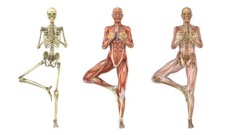 anatomia: Una mujer se encuentra en una pose de �rbol de yoga, superposiciones anat�micas, estas im�genes se alinean perfectamente y pueden utilizarse para estudiar anatom�a - render 3D.
