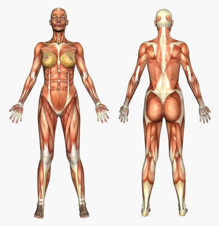 근육 - - 여성 인간의 해부를 묘사하는 3D 렌더링.