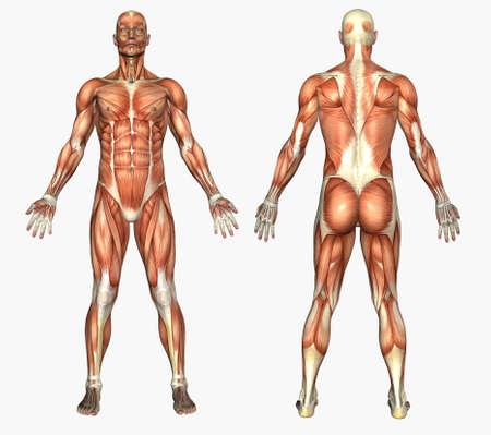 anatomie mens: 3D render afbeelding van menselijke anatomie - spieren - mannetje