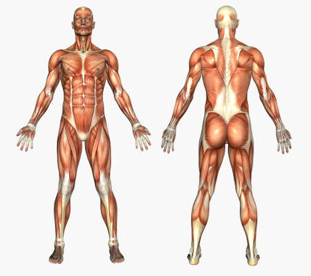 anatomy body: 3D render depicting human anatomy - muscles - male Stock Photo