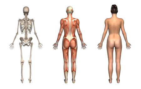 anatomy naked woman: Anatomical overlays, female, front view. These images will line up exactly, and can be used to study anatomy. 3D render.