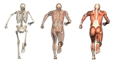 skelett mensch: Serie von drei anatomischen 3D macht einen Mensch darstellt, Lauf, von hinten gesehen. Diese Bilder werden dazu genau und kann verwendet werden als Overlays Anatomie studieren zu werden. Lizenzfreie Bilder