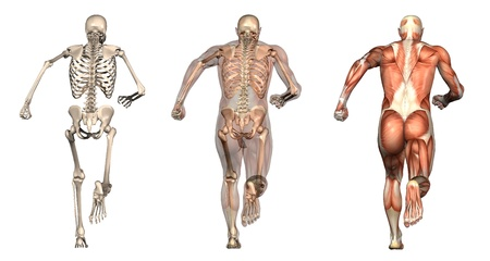musculature: Series of three anatomical 3D renders depicting a man running, viewed from behind. These images will line up exactly, and can be used as overlays to study anatomy. Stock Photo