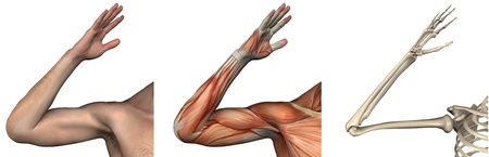 arm muscles: Anatomical Overlays - right arm - these images will line up exactly, and can be used to study anatomy - 3D render