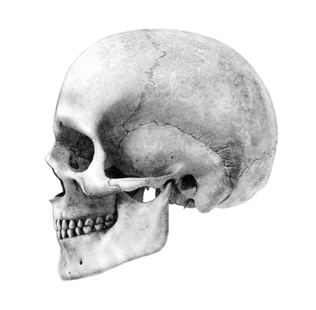 skeleton skull: Human Skull - Side View- Pencil Drawing Style - this is a 3D render, the pencil effect was achieved by using special shaders in the rendering process. Amazing detail.