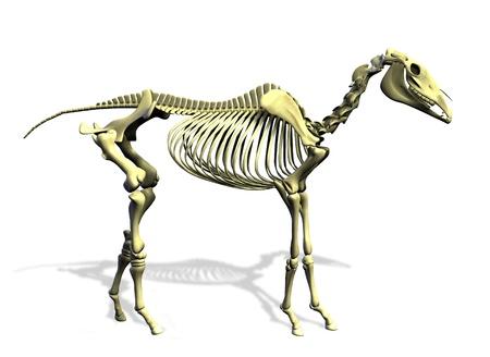 skeleton anatomy: 3D render of a horse skeleton. Stock Photo