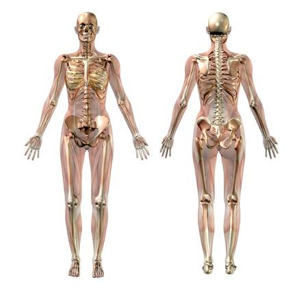 반투명 근육 여성의 골격의 3D 렌더링합니다.