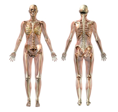 esqueleto: 3D render of a female skeleton with semi-transparent muscles.