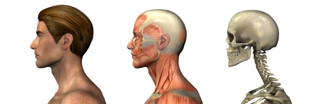 overlays: Series of three anatomical 3D renders depicting a man in profile, head and shoulders, muscles and skull. These images will line up exactly, and can be used as overlays to study anatomy.