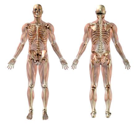 anatomie mens: Man skelet met semi-transparante Spieren - medisch nauwkeurige 3D-render. Stockfoto
