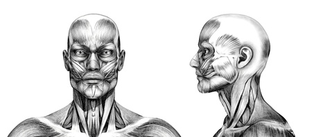 rendering: Muscles of the head - front and side - 3D render. Special shaders were used in the rendering process, to create the appearance of a pencil drawing.