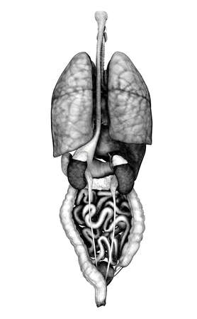3D render depicting the internal organs - back view. Special shaders were used in the rendering process, to create the appearace of a pencil drawing. photo