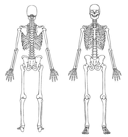 esqueleto humano: Esqueleto - Frant y Volver Vectores