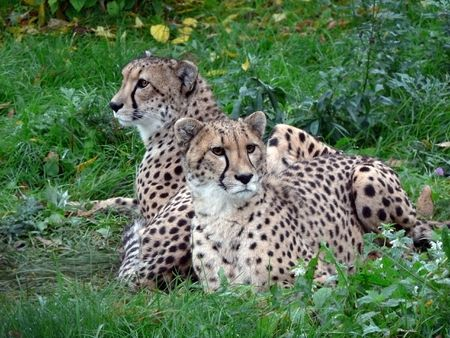 inaction: Two cheetahs who are becoming stupid from inaction.
