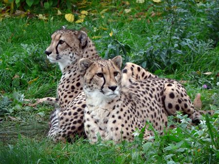 Two cheetahs who lay in a grass. photo