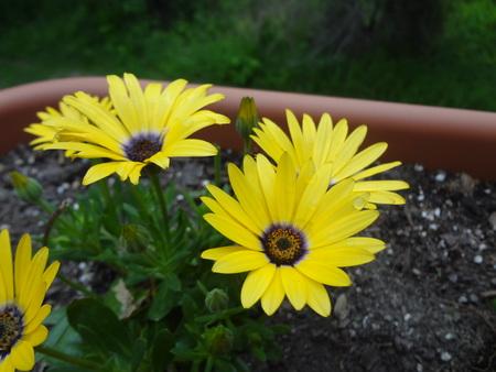 blazing: Blazing Daisy