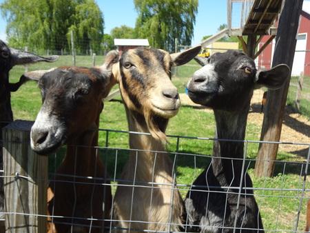 billy goat: Three Billy Goat Gruff Stock Photo
