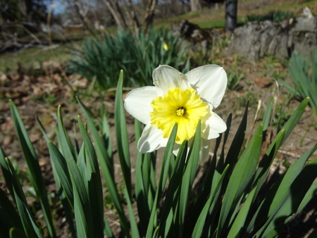 daffodil: Daffodil