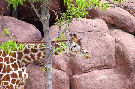 reticulata: Giraffe hiding behind a tree