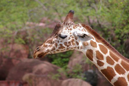 reticulata: Giraffe at the zoo