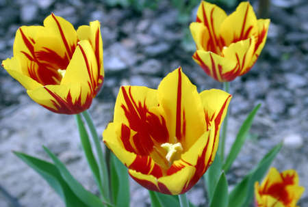 piebald: Piebald red yellow tulips on grey silver blurred background.