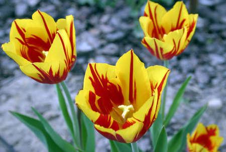 piebald: Piebald tulipanes rojo amarillo sobre fondo gris plata borrosa.