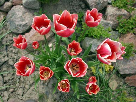 piebald: Piebald rojo blanco tulipanes en las rocas.