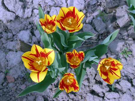 Piebald red yellow tulips on grey silver blurred background. Stock Photo - 455801