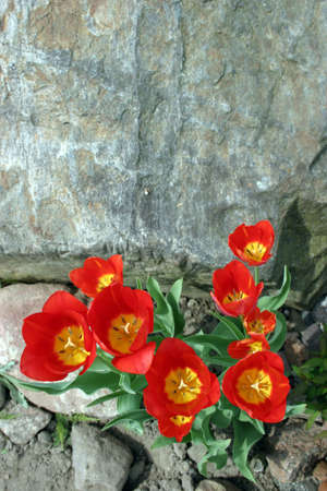 gramma: Red tulips on stone background.
