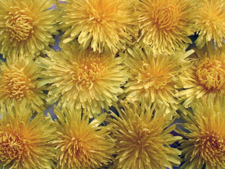 Sow thistle background. photo