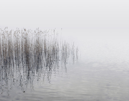 reed: Canes growing from the water at the lake shore on a misty day