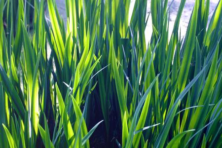 iluminados: Verde burlush deja brillar intensamente iluminados por el sol de atrás