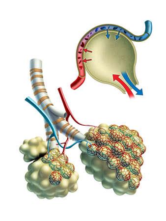 alveolos pulmonares: Ilustración anatómica que muestra algunos alvéolos pulmonares y el intercambio gaseoso que tiene lugar en su interior. Ilustración digital.