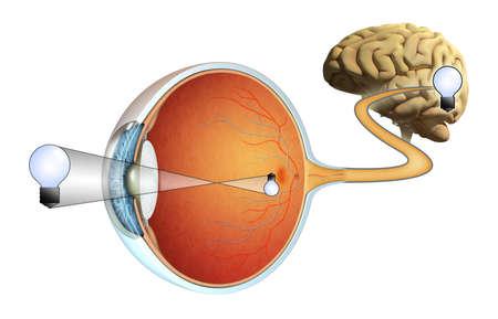anatomie: Hoe beelden worden vastgelegd door onze ogen en verwerkt door onze hersenen. Digitale illustratie.
