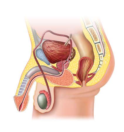 masculino: Anatomía del sistema reproductor masculino. Ilustración digital.