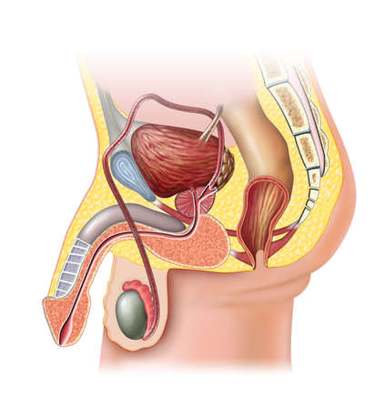 ejaculate: Anatomy of the male reproductive system. Digital illustration.
