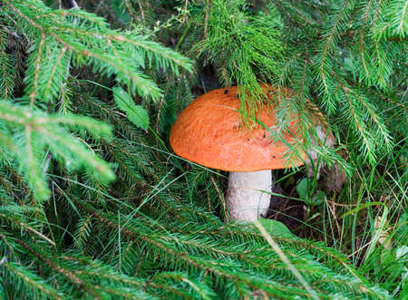 fungous: Mushroom in the forest Stock Photo
