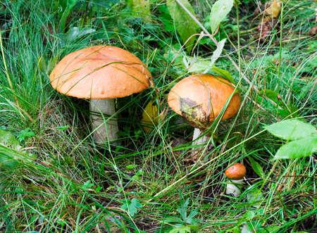 Three mushrooms is the family