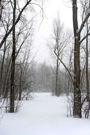 Winter forest in snow during a blizzard. photo